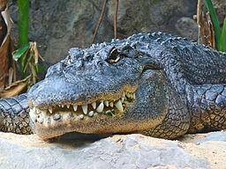 256px-Alligator_mississippiensis_01 (2)